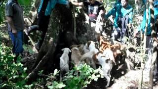Buru Babi Kabupaten OKU Selatan SumSel 5)