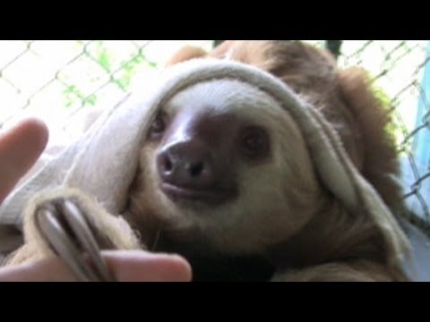 Sloths, Colombian Animal Traffickers' Favorite