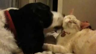 English Springer Spaniel Bathes A Cat
