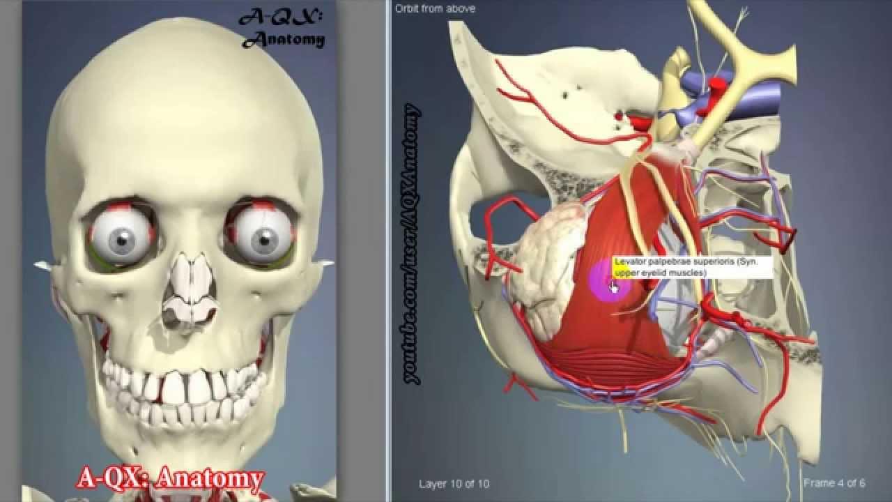 анатомия человека схема внутренних органов