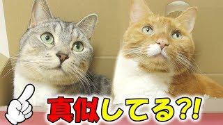 サバトラ猫の「すし」は、茶トラ猫の「ちゃい」の事が大好きです。なん...