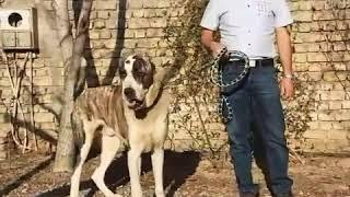 Afghan dog  .... Giant Dogs