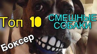 Смешные ТОП 2019 приколы с собаками боксер - самая смешная подборка собак