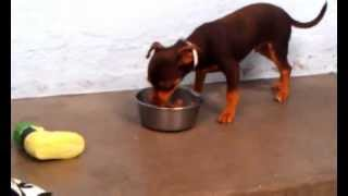 Chihuahua Min Pin Learns His Name And Meets His Parents For The First Time