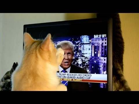 'Offended' Cat Attacks Donald Trump On Screen