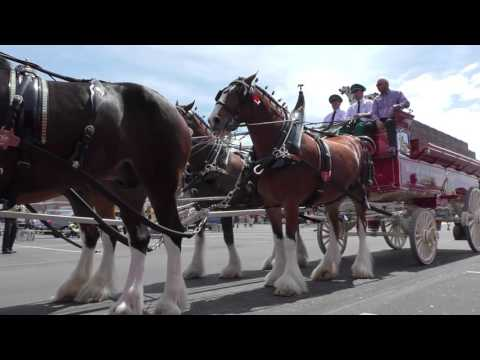 The Budweiser Clydesdales at University of Tennessee College of Veterinary Medicine