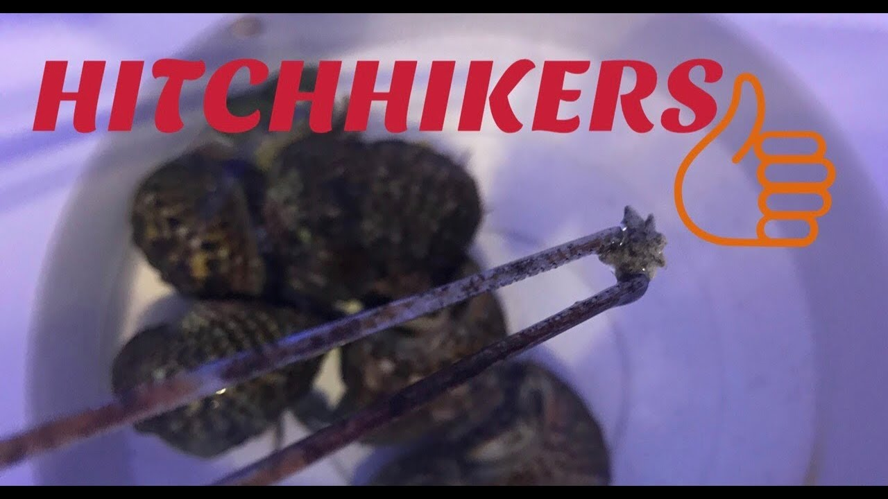 180g Reef Saltwater Aquarium Stop Hitchhikers Pests In Your Clean Up Crew Update Youtube
