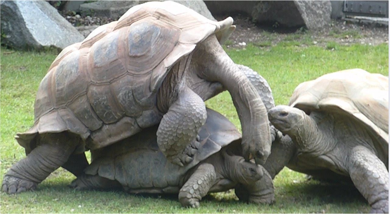 Giant Turtles making love - Mating Ritual of the Giant Turtle at the ...