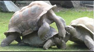 Giant Turtles making love - Mating Ritual of the Giant Turtle at the Munich Zoo