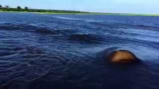 Hippo Charge on Chobe River Jan2015, recorded with iPhone 6; Botswana, Awesome but crazy dangerous. thumbnail
