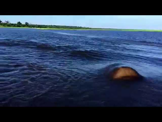 Hippo Charge on Chobe River Jan2015, recorded with iPhone 6; Botswana