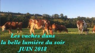Les vaches dans la belle lumière du soir