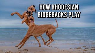 Rhodesian Ridgebacks Play Rough (And it's a joy to watch!)
