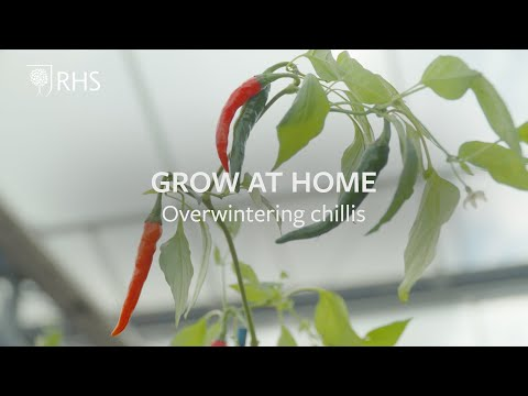 Overwintering chillis | Grow at Home | Royal Horticultural Society