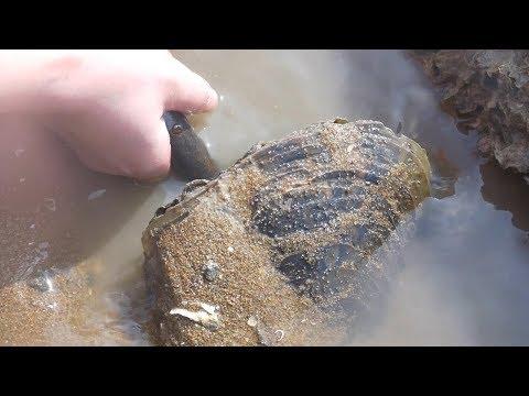 小章赶海发现排水管里排出一只大章鱼。拿出来一看还不止一个!  【赶海小章】