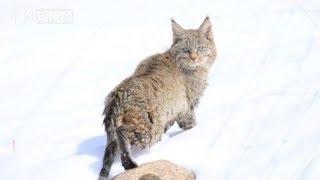 青海湖区域首次记录神秘的荒漠猫 thumbnail