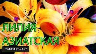Лилия азиатская / посадка и уход за лилиями(Лилия (лат. Lilium) — род растений семейства Лилейные (Liliaceae). Многолетние травы, снабжённые луковицами, состоящ..., 2015-01-31T07:00:00.000Z)