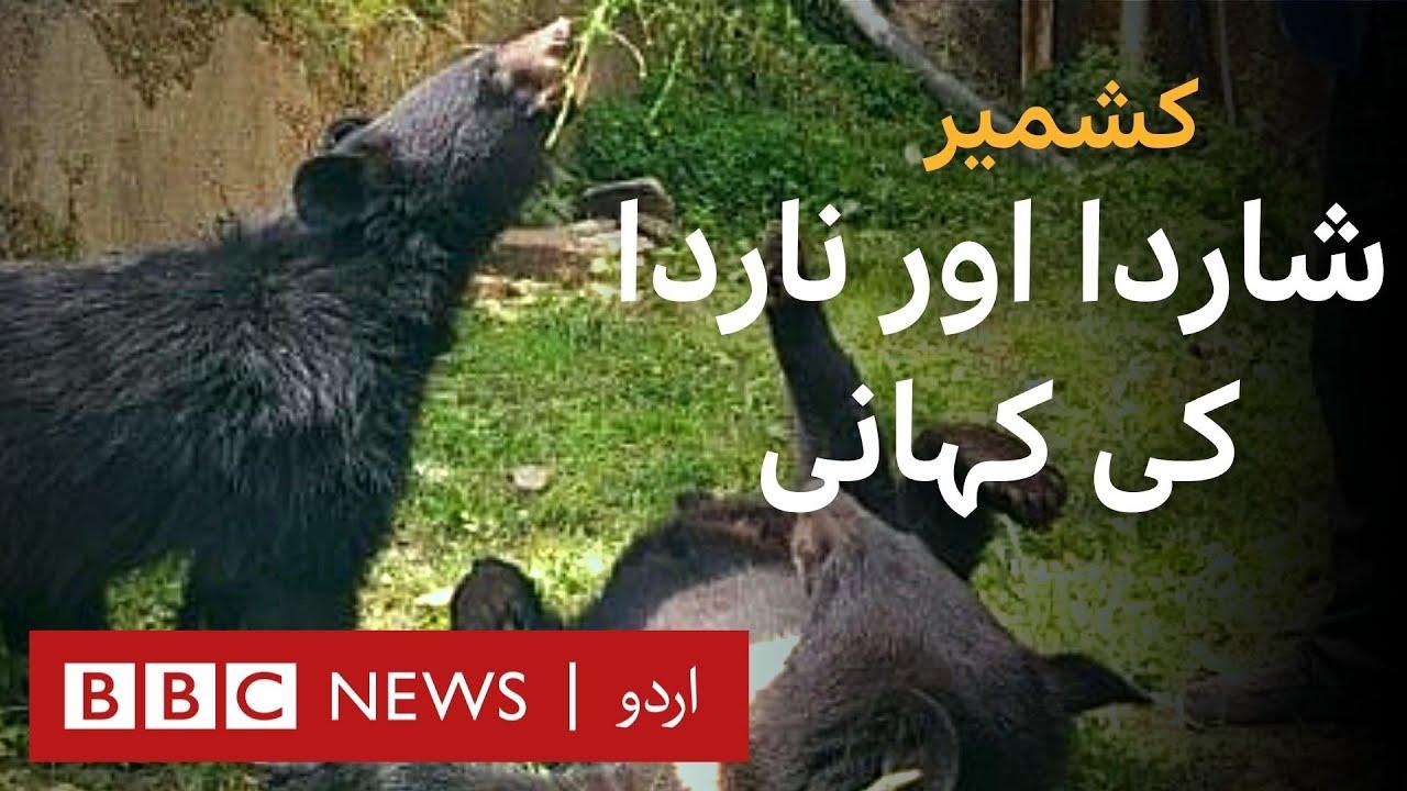 Kashmir: Story of twin bear cubs Sharda and Narda - BBC URDU