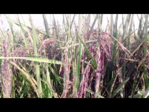 The best organic rice barry @ Danus hobby farm ( health & on diet )