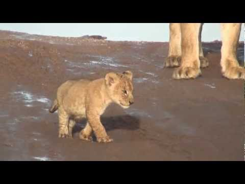 Lion Cubs Growling in the Serengeti