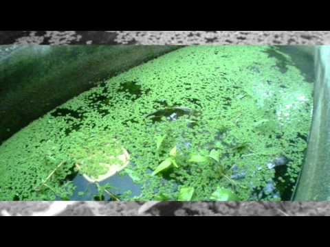 Azolla as Chicken Feed