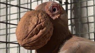 Pigeon 'Bec de Noix' ( Pelican Carrier )