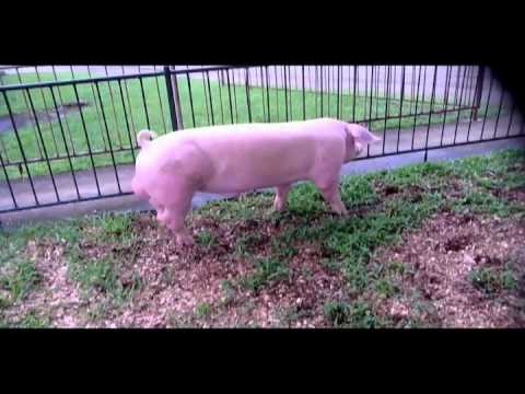 Home Of Philippine Made Pinoy Landrace Pinoy Large White Pietrain Duroc Crosses Mov