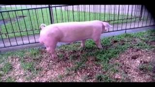 Home of Philippine made Pinoy Landrace,Pinoy Large White & Pietrain Duroc crosses .mov