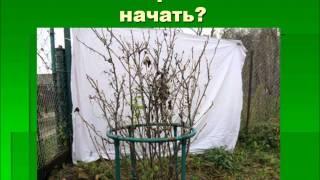 Выращивание смородины по-природному