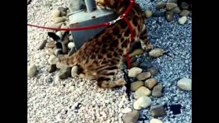 Бенгальская кошка Лилианна питомника NEA Wild Hunter