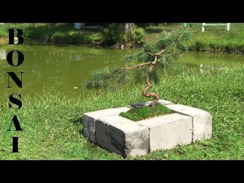 Как просто и эффектно высадить декоративную сосну (Бонсай) в саду.