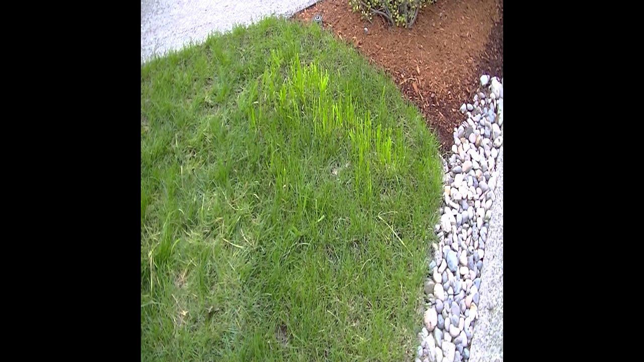 how to make centipede grass plugs
