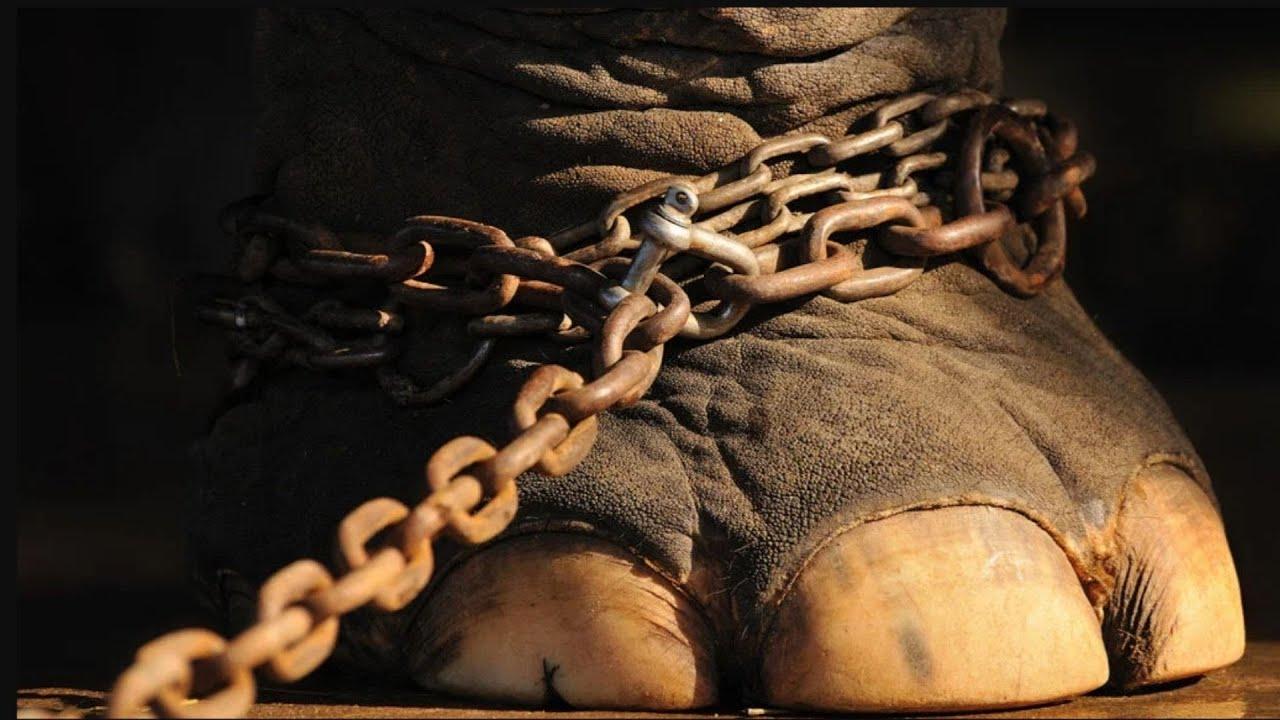 50 години слонът е бил с окови. Само вижте, какво е направил, след като са го освободили!
