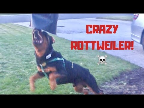Rottweiler gets the zoomies! Has lots of energy. |21