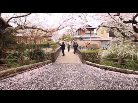 京都の桜 哲学の道 2017 Cherry blossoms of Philosopher's Walk Kyoto (2017.4.12)