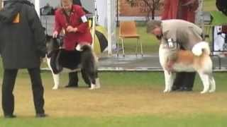 Akita Judging - Utility Club Of Nsw - 2nd June 2013
