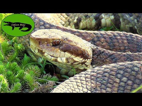 Cajun Boy: Episode 27 (Up close with a Water Moccasin!)