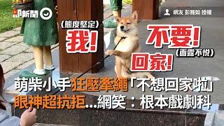 萌柴犬手狂壓牽繩不想回家 眼神超抗拒 網友:根本戲劇科|寵物|狗狗|拒否柴|柴柴
