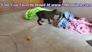 Doberman Pinscher, Puppies, For, Sale, In, Portland, Oregon, Or, Mcminnville, Oregon City, Grants Pa