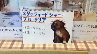 みなさん、こんにちは。セラフ榎本愛犬家住宅です。 本日は、スタッフォ...