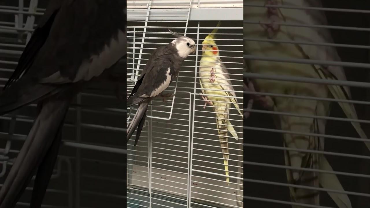 Download Très beaux cockatiels , white face chante pour une femelle - ذكر الكوكاتيل يغني لأحدى الإناث