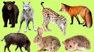 Животные для детей | Учим названия и звуки лесных животных | Лесные животные | Учим лесных животных