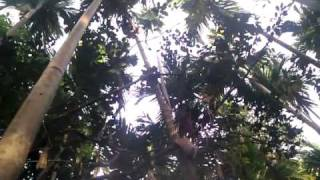 Guy climbs tree super fast at spice farm in india