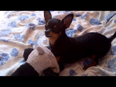 My little baby girl (Russian Toy Terrier) playing :)