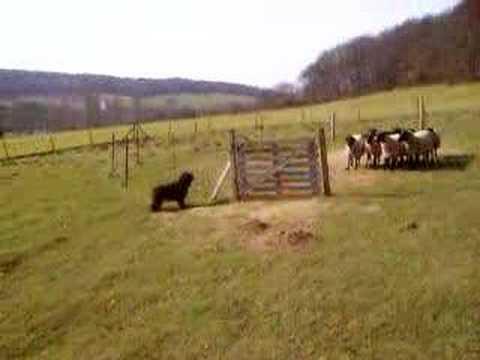 Nizinny (PON) aux moutons 1