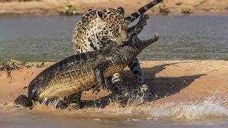 Repeat youtube video نمر الجاكور يفترس تمساح بطريقة عجيبه