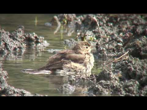 タヒバリ(1)冬鳥(各地) - Water