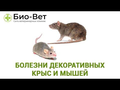 Болезни декоративных крыс и мышей, симптомы и лечение