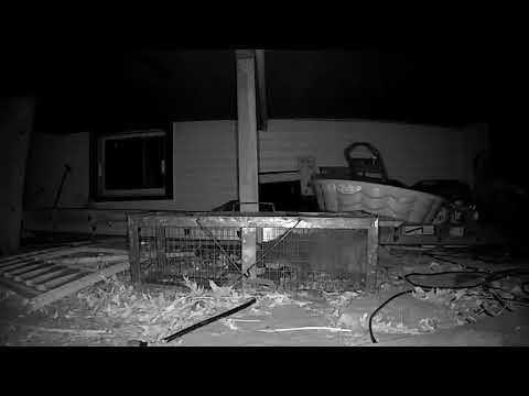 Cat escapes trap.