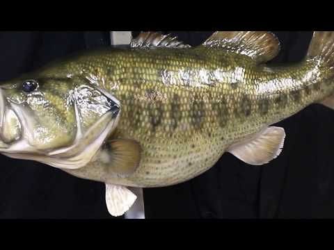 21# CA Record Laregmouth Bass Mount by Marine Creations Taxidermy
